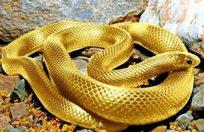Chiêm bao thấy rắn màu vàng mang đến nhiều may mắn cho chủ mộng